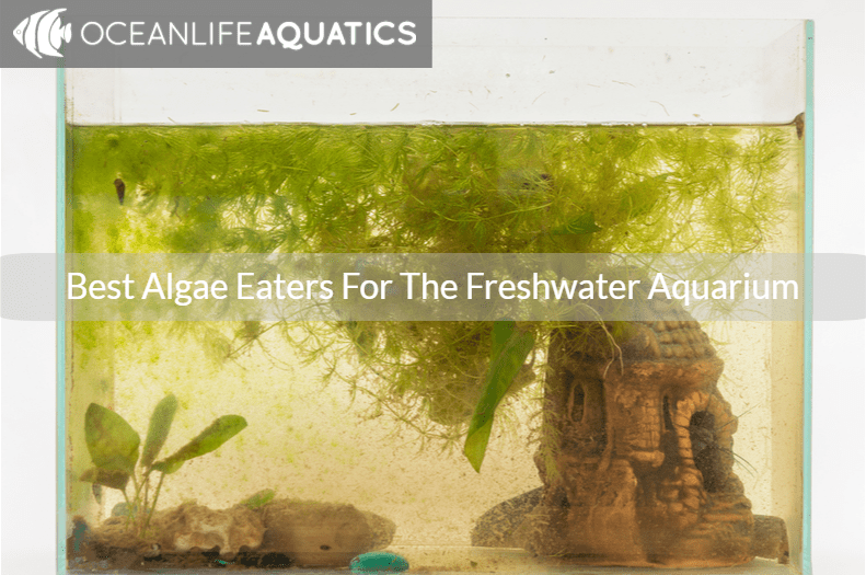 Best Algae Eaters For The Freshwater Aquarium