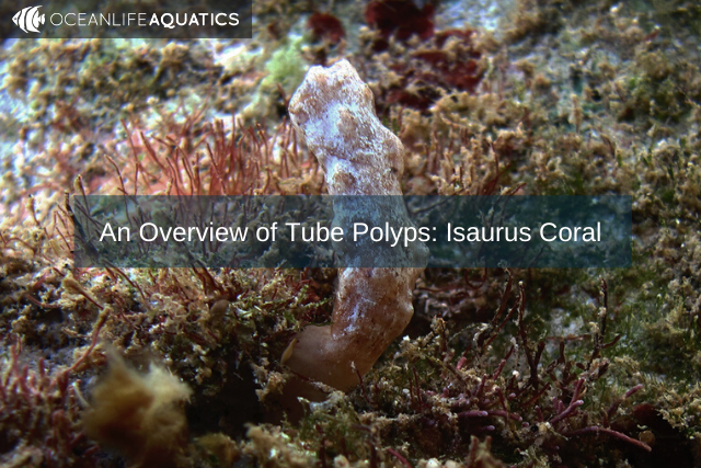 An Overview of Tube Polyps: Isaurus Coral
