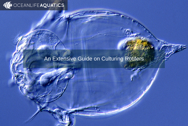 An Extensive Guide on Culturing Rotifers